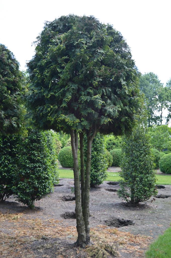 Thuja occidentalis 'Brabant' (White Cedar) multi-stem trees (2)