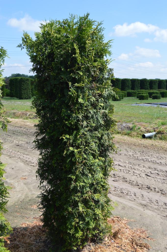 Thuja occidentalis 'Brabant' instant hedge plant 200cm x 50cm x 50cm