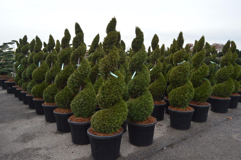 Thuja occidentalis 'Smaragd' topiary conifer spirals