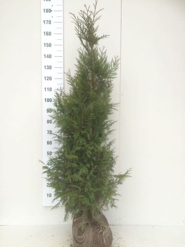 Thuja plicata 'Martin' root-ball hedge plant