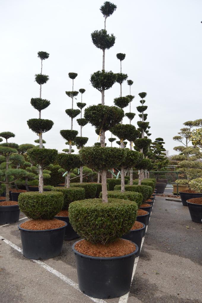 Thuja plicata 'Martin' specimen topiary forms