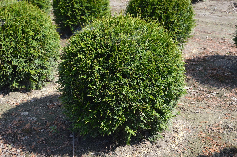 Thuja plicata 'Martin' topiary ball