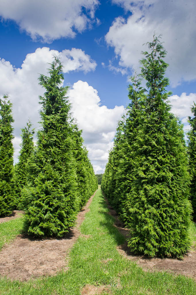 Thuja plicata (Western Red Cedar) specimen hedge plants