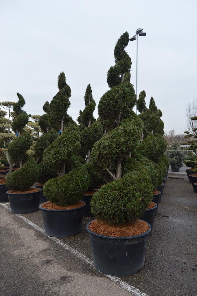 Thuja spirals 250-300cm tall
