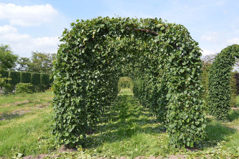 Tilia 'Pallida' (Lime) topiary arches