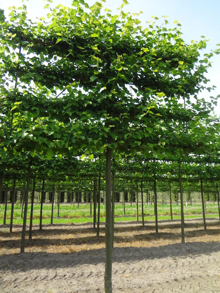 Tilia cordata 'Winter Orange' (Small leaved Lime) espalier pleached 20-25 grade