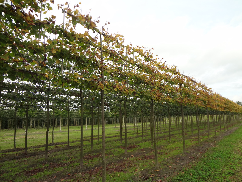 Tilia cordata 'Winter Orange' (Small leaved Lime) espalier pleached trees 18-20 grade