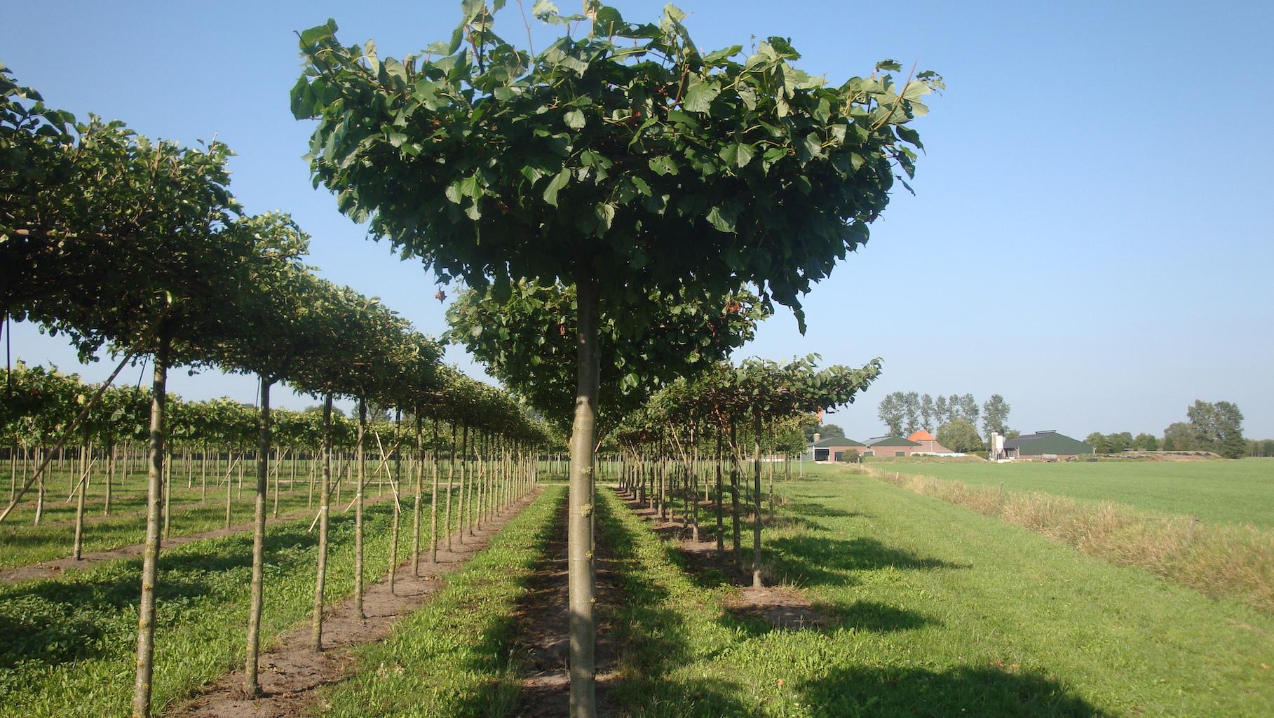 Tilia europaea 'Pallida' roof form Lime trees 25-30 grade
