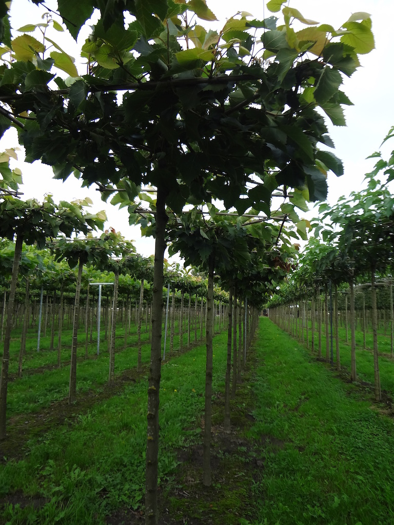 Tilia henryana roof form Lime trees 16-18 grade