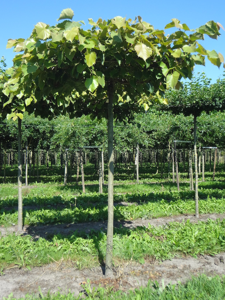 Tilia henryana roof form Lime trees 18-20 grade