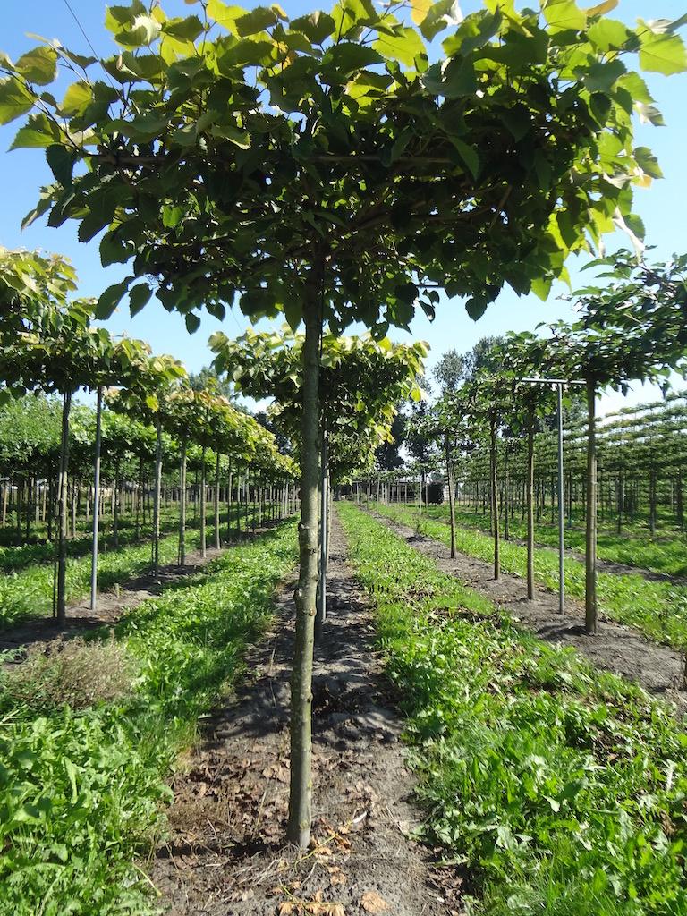 Tilia henryana roof form Lime trees 20-25 grade
