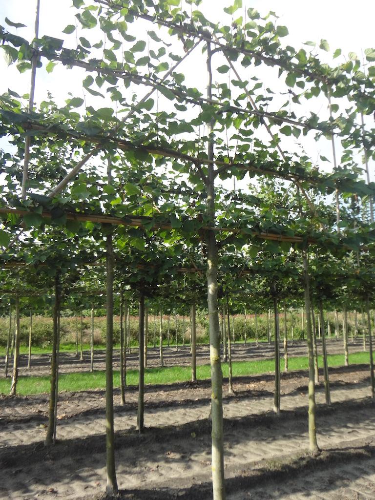 Tilia x europaea 'Pallida' espalier pleached Lime tree 16-18 grade