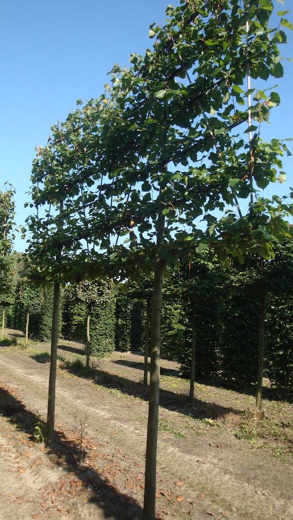 Tilia x europaea 'Pallida' espalier pleached Lime tree 20-25 grade with taller frame