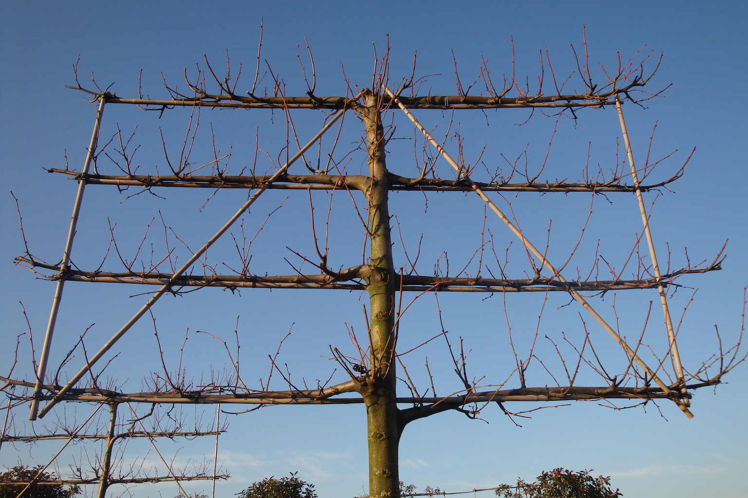Tilia x europaea 'Pallida' espalier pleached Lime tree in winter