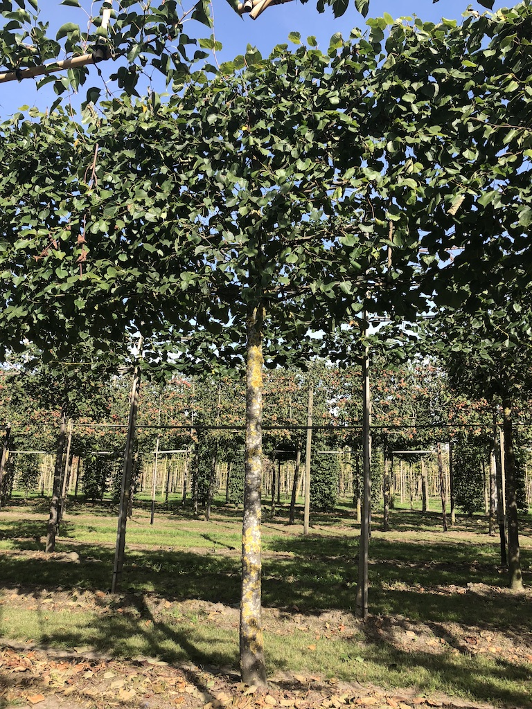 Tilia x europaea 'Pallida' pleached Lime tree