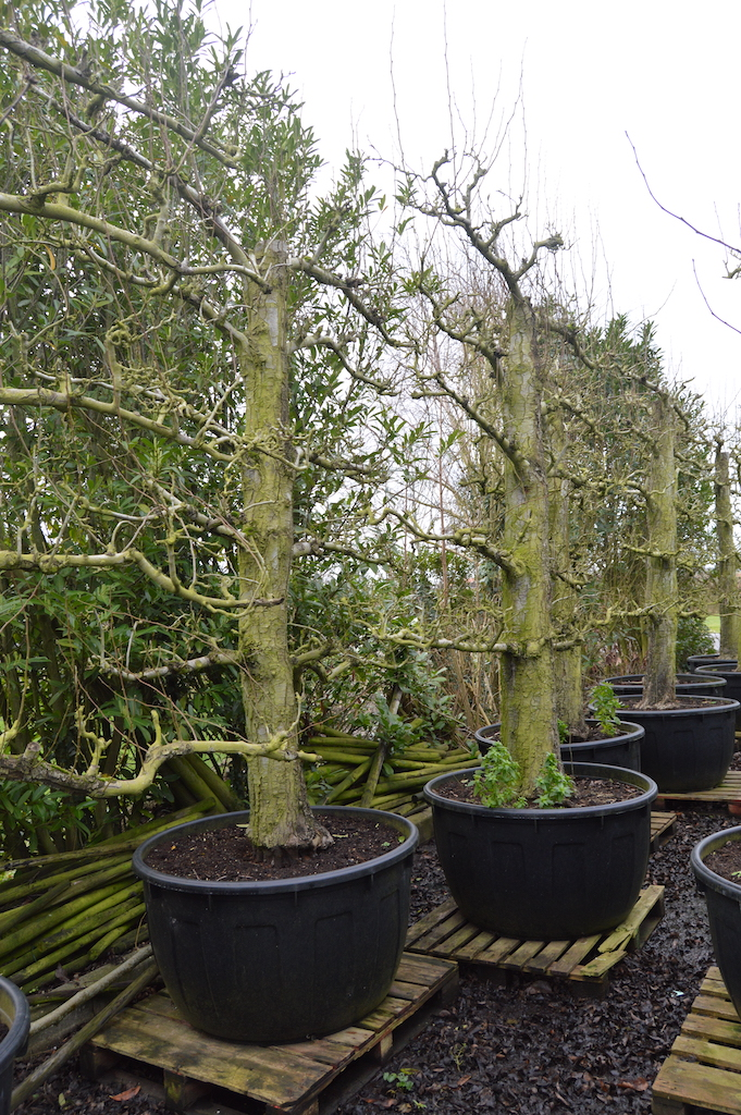 Training and production of old fruit trees (1)