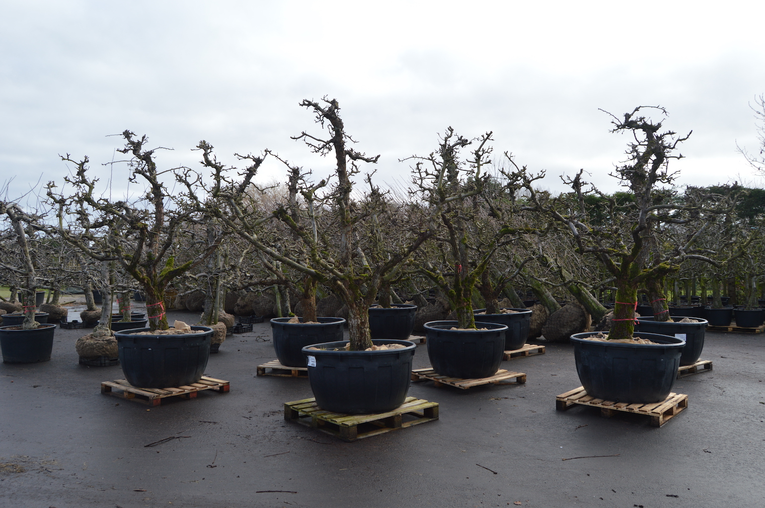 Training and production of old fruit trees (2)