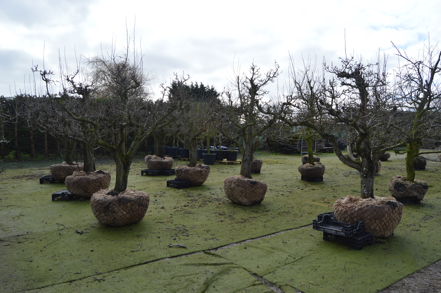 Training and production of old fruit trees (3)