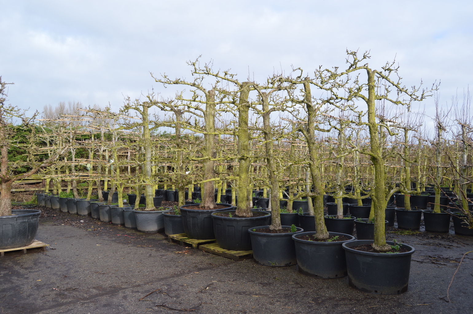 Training and production of old fruit trees (5)