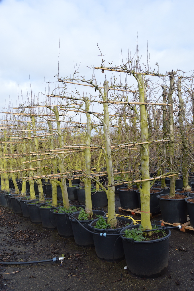Training and production of old fruit trees (6)