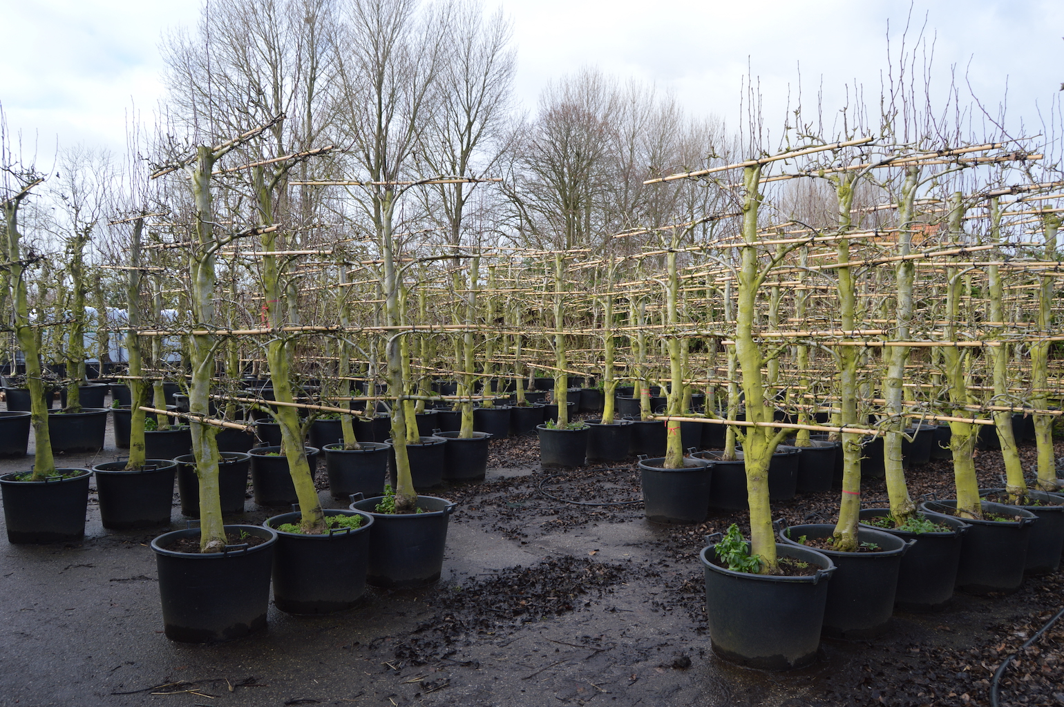 Training and production of old fruit trees (7)