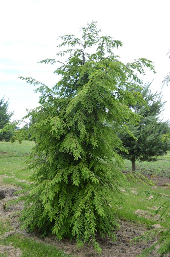 Tsuga canadensis (Eastern Hemlock) feathered tree