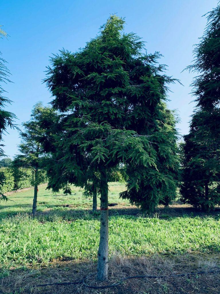 Tsuga canadensis specimen tree (1)