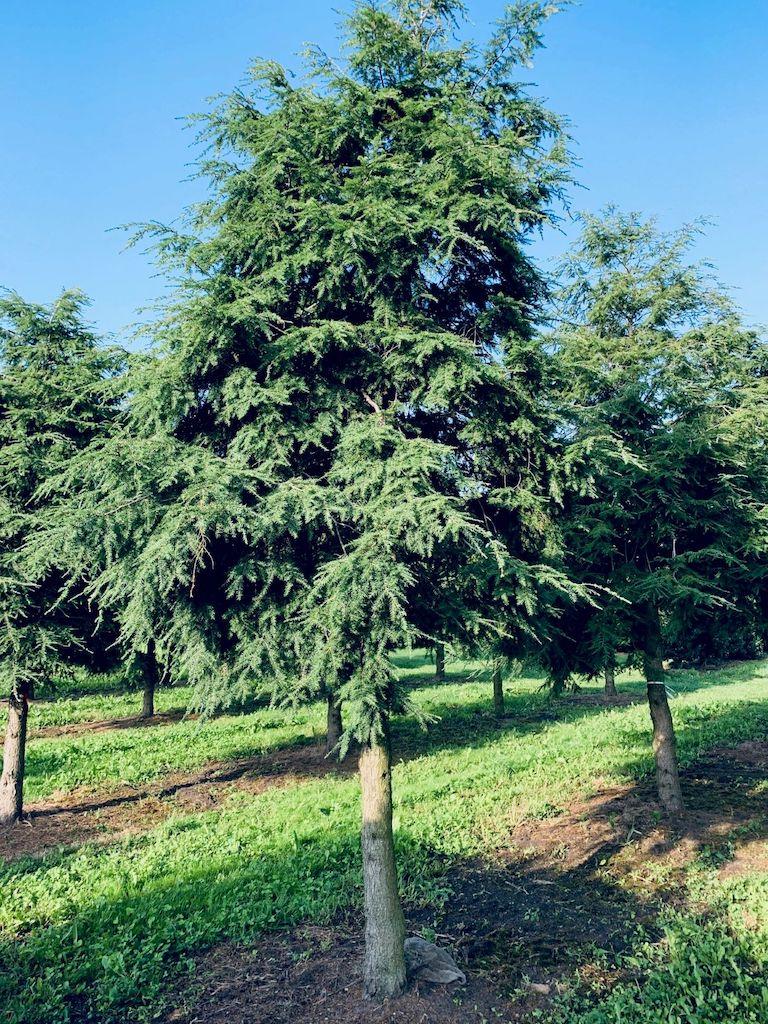 Tsuga canadensis specimen tree (2)
