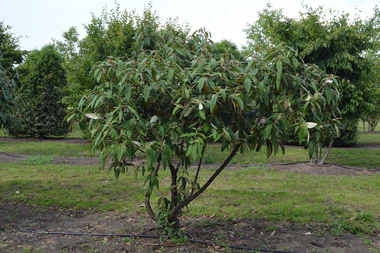 Viburnum rhytidophyllum specimen shrub (1)