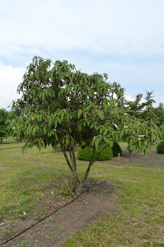 Viburnum rhytidophyllum specimen shrub (2)