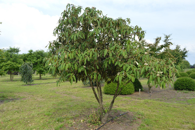 Viburnum rhytidophyllum specimen shrub (3)