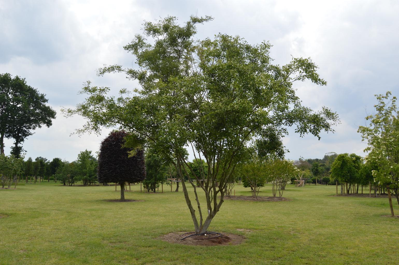 Zelkova carpinifolia 'Verschaffeltii' multi-stem specimen tree