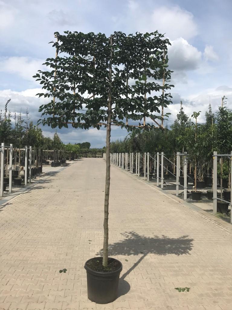 carpinus betulus pleached 16-18, 190cm clear stem, frame size 150cm x 120cm